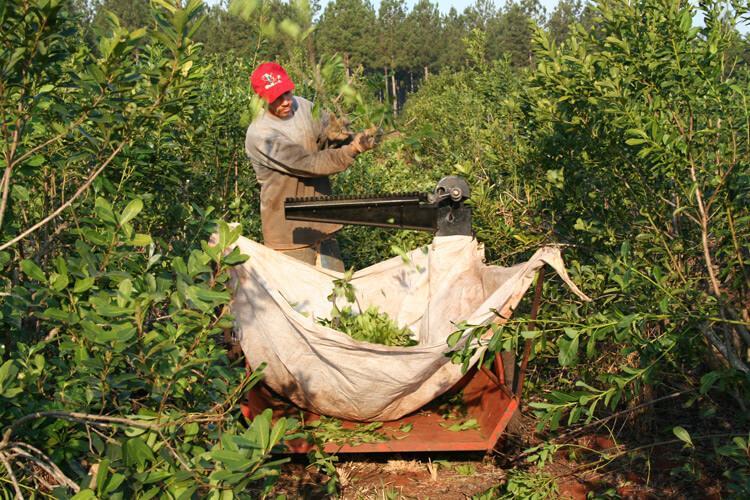 сбор листьев для чая мате